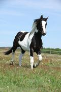 gorgeous paint horse running on flowered pasturage - stock photo