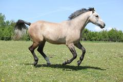nice grey horse running on pasturage - stock photo
