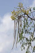 Flowers of Drumsticks, Moringa oleifera syn M pterygosperma F Mo Stock Photos