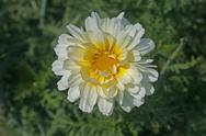 Margeurite Daisy, Chrysanthemum frutescens Stock Photos