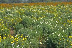 Stock Photo of Margeurite Daisy, Chrysanthemum frutescens