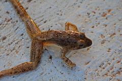 Leith's leaping frog, Indirana leithii - stock photo