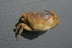 Land crab, Usually seen in the monsoon, India Stock Photos