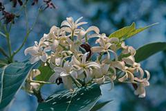 Holarrhena antidysenterica, Holarrhena pubescens, Maharashtra, I Stock Photos