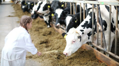 Little girl in white robe giving hay to cows at large farm Stock Footage