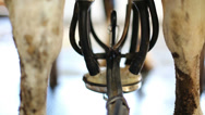 Stock Video Footage of Cows feet and equipment for milking in working process