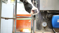 Stock Video Footage of Curious cow near milking equipment on large dairy farm