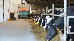 Special car strew feed for cows in stall at modern dairy farm Stock Footage