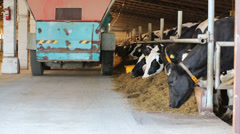 Agriculture car strew feed for cows in stall at dairy farm Stock Footage