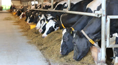 Many cows stands in stall and eat hay at large farm Stock Footage