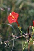 Ipomoea hederifolia, Scarlet Creeper, Cardinal's Flower, Red Ipo Stock Photos