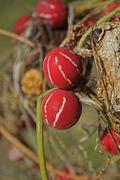 Stock Photo of Lollipop Climber, Marble Vine, Diplocyclos palmatus, India