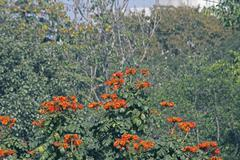 African tulip tree, Fountaintree, Spathodea campanulata Stock Photos