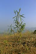 Oleander, Nerium oleander, Nerium indicum tree - stock photo