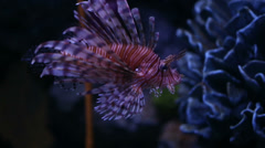 Lionfish in aquarium Thailand - stock footage