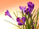Stock Photo of Crocus flower in the spring