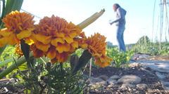 Marigolds in Vegetable Garden Stock Footage