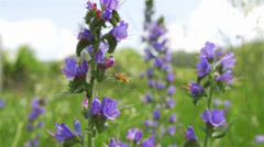 Insect flying in slow motion to purple herb meadow Stock Footage