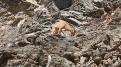 Lonely Barbary Sheep (Ammotragus lervia) Stock Footage