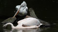 Dalmatian Pelican-Pelecanus crispus Stock Footage