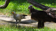 Cinereous Vulture and Egyptian Vulture Stock Footage