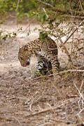leopard lick itself - stock photo