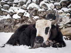 Stock Photo of Yak Sitting on Snow, Everest Region, Nepal