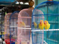 Two Yellow Parakeets in a Cage at Bird Market in Yogyakarta, Indonesia - stock photo