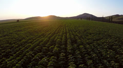 Field with sunflower sprouts in motion Stock Footage