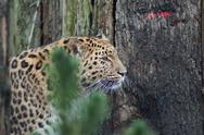 Stock Photo of Amur Leopard - Panthera pardus orientalis