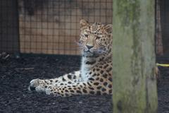 Amur Leopard - Panthera pardus orientalis - stock photo