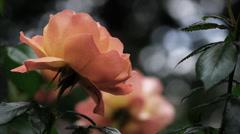 Rose Flower - Loop - 05 - Pink-Yellow Petals Stock Footage