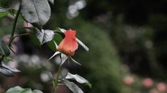 Rose Flower - Loop - 06 - Pink-Yellow Petals Stock Footage