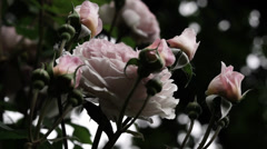 Rose Flower - Loop - 07 - Pink-White Petals Stock Footage