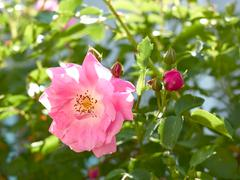 Stock Photo of rose flowering close-up