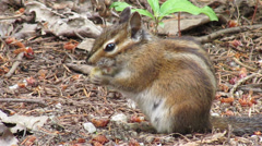 Chipmunk in Canadian Forest British Columbia Stock Footage