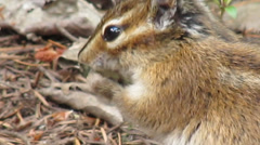 Chipmunk Close Up  in Canadian Forest Stock Footage