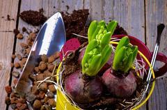 Planting Hyacinth Bulbs Stock Photos