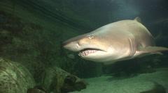Large Grey Nurse Shark close up swim past - Aquarium Stock Footage