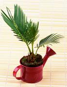 Little Palm Chrysalidocarpus Areca - stock photo