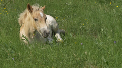 A colt on a lawn eating grass.  4K UHD Stock Footage