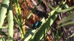 June beetles, sex Stock Footage