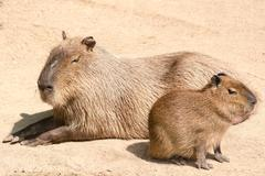 Capybara (Hydrochoerus hydrochaeris) is the largest rodent in th - stock photo