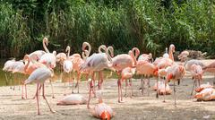 Flamingo is a type of wading bird in the genus Phoenicopterus - stock photo