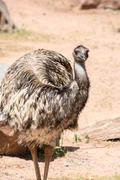 Emu (Dromaius novaehollandiae) is the largest bird native to Aus - stock photo