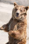 The brown bear (Ursus arctos) is among the largest and most powe - stock photo