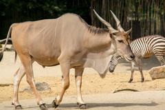The common eland (Taurotragus oryx), also known as the southern Stock Photos
