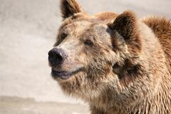 The brown bear (Ursus arctos) is among the largest and most powe Stock Photos
