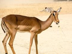 Antelope (Aepyceros melampus) standing on a rocky sandy backgrou Stock Photos