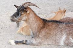 Brown goat in a farm - stock photo